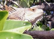 Kayaking photos - Florida lizard