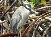 Kayaking photos - Mangrove bird